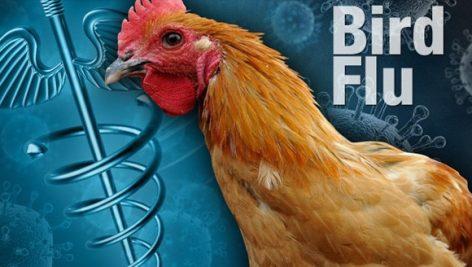 تحقیق درمورد آنفلوآنزای مرغی و پیامدهای آن
